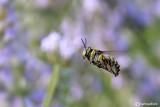 Anthidium sp.