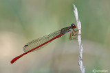 Ceriagrion tenellum male