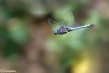 Orthetrum caerulescens