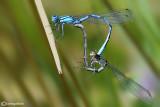 Enallagma cyathigerum mating