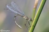 Lestes sponsa female
