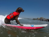 Surf Dog 'Stanley'  Owner Craig Haverstick