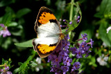 White Orange Tip Female