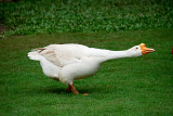 Domesticated Swan-goose