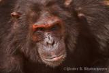 A rogue Chimp at Chimphunsi, Chingola
