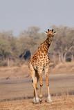 Thornicroft Giraffe at South Luangwa