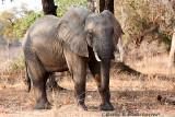 Elephant at South Luangwa