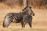 Zebra - Mother & Child at South Luangwa