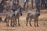 A Small Herd of Zebras at Nsobe