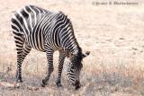 A Grazing Zebra at South Luangwa