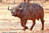 Wild Buffalo at Livingstone