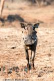 Warthog at South Luamgwa