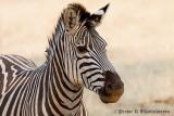 Zebra at Livingstone