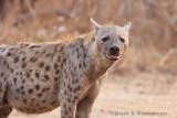 Hyena at South Luangwa, Zambia