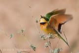 Little Bee Eater in Flight