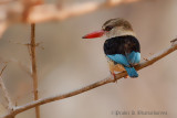 Brown Hooded King Fisher