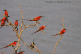 A flock of Southern Carmine Bee Eaters at the bank of South Luangwa River, Zambia