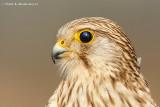 Common Kestrel - A Portrait