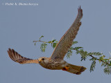 Common Kestrel in flight