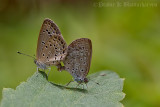 Mating - Gram Blue