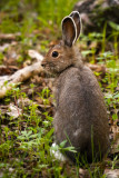 Snowshoe Hare 6_3_11.jpg