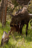 Momma and baby Moose 6_24_11.jpg