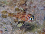 Blackfin Cardinalfish