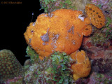 Frogfish Pair