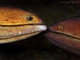 Mating Morays