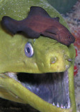 green moray being cleaned by a black brotula
