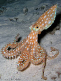 Moonwalking Octopus