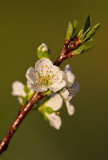 Plum Blossum