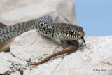 Kace/Snakes
