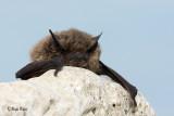 Netopir/Bat