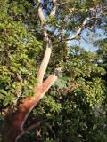 Östlicher Erdbeerbaum (Arbutus andrachne) - Krim, Ukraine