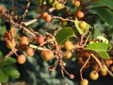 Arbutus andrachne - Krim, Ukraine