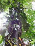 Secondary forest in Pico Bonito