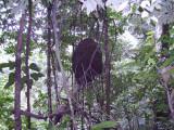 Large termite nest!