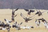 various geese _MG_2426