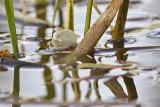 boreal chorus frog 051312_MG_1628