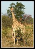 Giraffes, Little Kwara