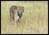 Cheetah, Little Kwara