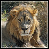 Lion, Little Kwara
