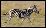 Zebra, Little Kwara