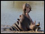 Hippo, Lebala