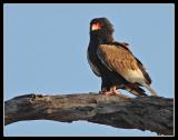 Bateleur Eagle, Lebala