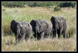 Elephants, Lebala