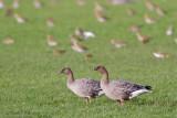 Pink-footed Goose - Kleine rietgans