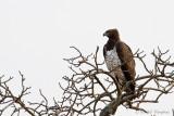 Martial Eagle - Vechtarend