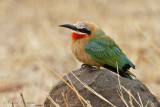 White-fronted Bee-eater - Witkapbijeneter